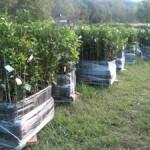 EngelhardtCitrus-buy citrus trees